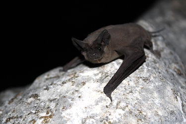 picture of a Mexican free-tailed bat
