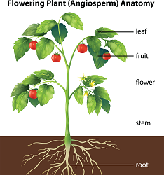 diagram of a flowering plant